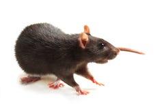 Black rat. On white Stock Photos
