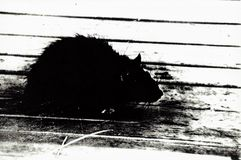 Black Rat White Bench Silhouette Stock Photography