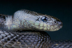 Black ratsnake / Elaphe dione nigrita Royalty Free Stock Photos