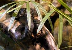 Black Ratsnake (Pantherophis o. obsoletus) Royalty Free Stock Photo