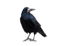 Black raven Stock Photography