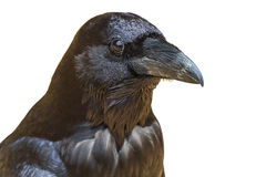 Black raven Royalty Free Stock Photos
