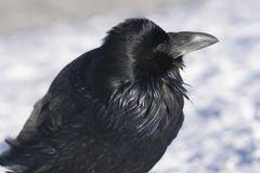 Black Raven. Closeup of a black raven Stock Photography