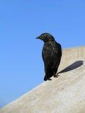Black raven Stock Images
