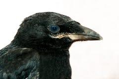 Black Raven. Raven black with blue eyes Royalty Free Stock Image