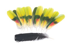 Black raven and amazon parrot feathers Stock Image