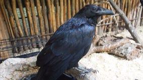 Black Raven. Big black crow sitting on a branch Stock Photo