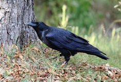 Black raven. Big black crows walking in the park royalty free stock photography