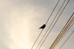 Black Raven bird on the wires. Slovakia royalty free stock image