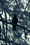 Black Raven in Black and White Stock Images