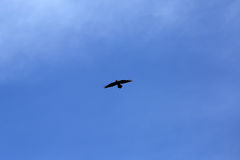 Black Raven on Blue Sky Royalty Free Stock Photo