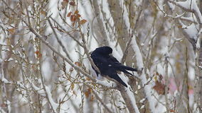 Black raven cleaning on tree in snow forest or city 2 stock footage