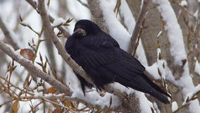 Black raven cleaning on tree in snow forest or city 4 stock video footage