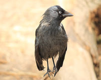 Black raven close-up Royalty Free Stock Photo