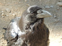 Black Raven Close-Up Stock Photo