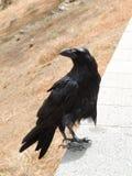 Black Raven Close-Up Stock Images