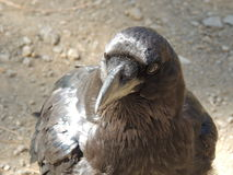 Black Raven Close-Up Royalty Free Stock Photography