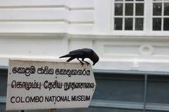 Black raven on colombo national museum in sri lanka Stock Image