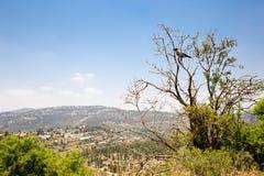 Black raven crow bird sitting tree bush Jerusalem. Stock Photos