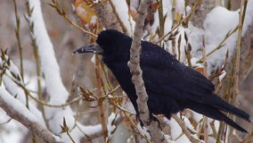Black raven eat snow on tree in snow forest or city 3 stock video footage