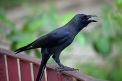A Black Raven Stock Photography