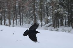 Black Raven in Flight royalty free stock photography