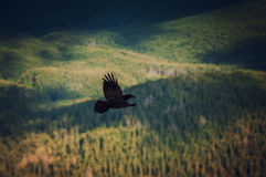 Black raven fly above mountain forest Royalty Free Stock Images