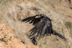 Black raven fly in mountains. Close view of black raven flying in mountains. La Palma island Stock Image