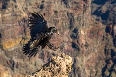 Black raven fly in mountains Royalty Free Stock Photo