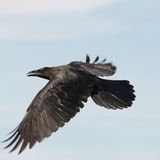 Black Raven flying Royalty Free Stock Images