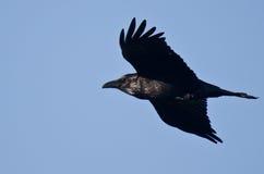 Black Raven Flying in a Blue Sky Stock Image