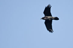 Black Raven Flying in a Blue Sky Stock Photo
