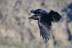 Black Raven Flying Through the Canyon Stock Photos