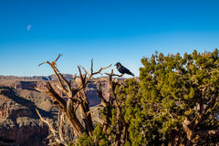 Black Raven at Grand Canyon West Rim - Arizona, USA Stock Photo