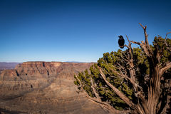 Black Raven at Grand Canyon West Rim - Arizona, USA Stock Images