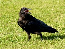 Black Raven on grass Stock Image