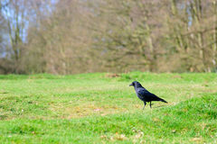 Black raven on a green grass Royalty Free Stock Photo