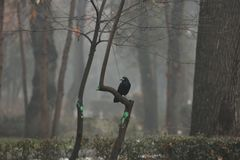 Black Raven In The Fog. Royalty Free Stock Image
