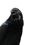 Black raven isolated on white background 免版税库存图片