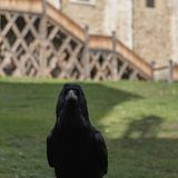 A black raven looking straight at the camera in a castle courtyard stock photo
