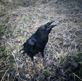 Black raven with open beak. Dark crow jump on leaves. Stock Photos