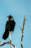 The Black Raven. A photogenic black Raven on a bare tree branch against the blue sky at Mather point in Grand Canyon National Park, Arizona USA Royalty Free Stock Photography