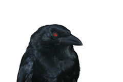 Black raven portrait Stock Photos