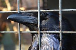 Black raven Royalty Free Stock Image