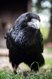 Black raven Royalty Free Stock Image