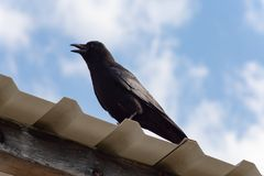 black raven on rooftop and blue sky stock photo