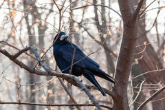 Black raven sits on a branch Stock Image