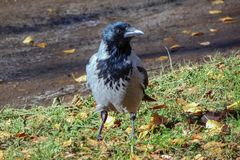 Black raven sits in the grass and autumn leaves royalty free stock photo