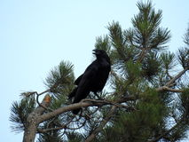 Black Raven. Sits on a pine Stock Photo