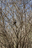 Black raven sits on a tree branch Royalty Free Stock Photography